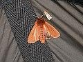 Phragmatobia fuliginosa (28564057347).jpg
