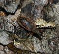 Phyllobius glaucus - Flickr - S. Rae.jpg