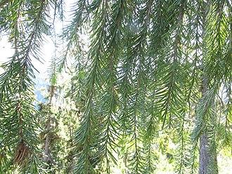 Picea breweriana - Image: Picea breweriana foliage