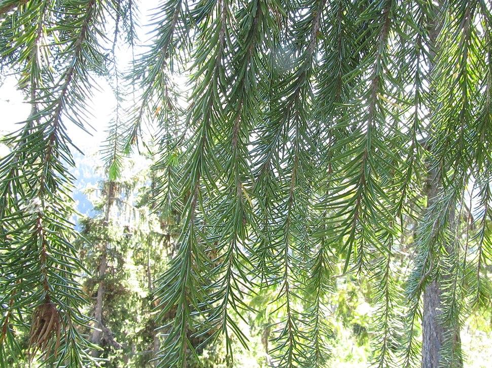 Picea breweriana foliage