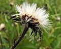 Picris hieracioides PID1775-2.jpg