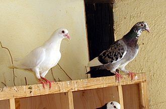 Rock dove - Domestic pigeons
