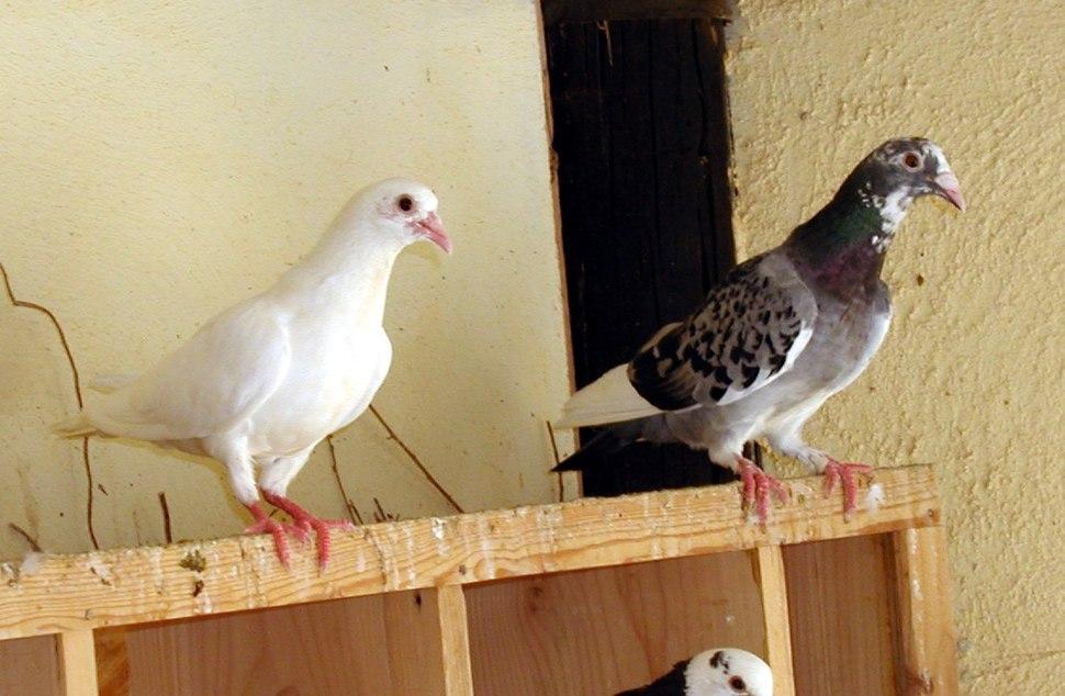 Pigeon Revivim 2