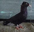 Pigeon haut-volant de Dantzig noir.jpg