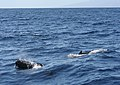 Pilot whales 1 (400626150).jpg