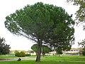 Pin parasol dans un parc à Arles (quartier de Trinquetaille) .jpg