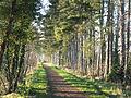 Pine Trees on the South Staffordshire Railway Walk - geograph.org.uk - 634180.jpg