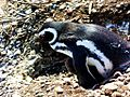 Pingüino en Calafate.JPG