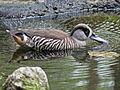 Pink-eared Duck RWD2.jpg