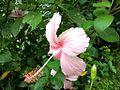 Pink Hibiscus Flower.jpg