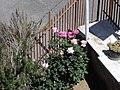 Pink Roses - panoramio.jpg