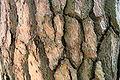 Pinus nigra JPG4Ad.jpg