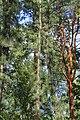 Pinus rigida trunk.jpg