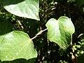 Piper excelsum subsp. excelsum PB220213.jpg