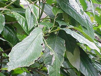 Species: Piper grandifolium Family: Piperaceae...