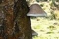 Piptoporus betulinus44.jpg