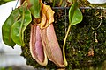 Pitcher Plant (Nepenthaceae) Nepenthes Veitchii Pink (49359429783).jpg