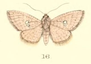 <i>Banisia myrsusalis</i> Species of moth