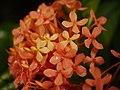 Plant Ixora P1110605 02.jpg