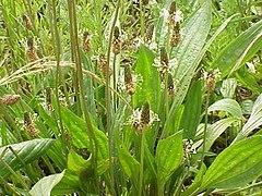 Plantago lanceolata flowers.jpg