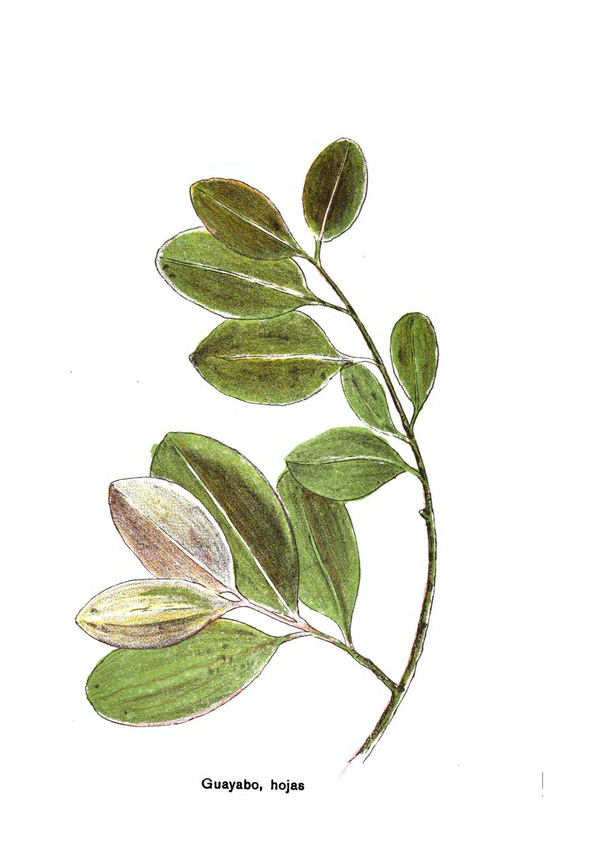 P gina plantas medicinales de las rep blicas oriental y for Paginas de chimentos argentina