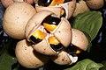 Plants Chisocheton cumingianus fruit IMG 8257 aril seed.jpg