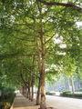 PlatanusAcerifoliaTrunk.jpg