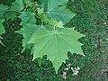 Platanus × hispanica foliage Partenit.jpg