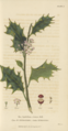 Plate 5 Ilex Aquifolium - Conversations on Botany-1st edition.tiff