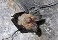 Plecotus sp (cfr auritus) (2863186902).jpg