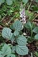 Plectranthus ciliatus (Lamiaceae) (4804510946).jpg