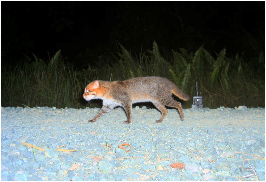 « Plionailurus planiceps » par Andreas Wilting et al. — Andreas Wilting et al.: Modelling the Species Distribution of Flat-Headed Cats (Prionailurus planiceps), an Endangered South-East Asian Small Felid. In: PLoS ONE 5, Nr. 3, March 2010.. Sous licence CC BY-SA 2.5 via Wikimedia Commons - https://commons.wikimedia.org/wiki/File:Plionailurus_planiceps.png#/media/File:Plionailurus_planiceps.png