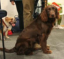 german spaniel wikipedia