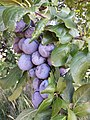 Plums prunes.jpg