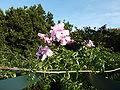 Podranea ricasoliana (2009).jpg