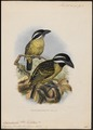 Pogonorhynchus hirsutus - 1870-1871 - Print - Iconographia Zoologica - Special Collections University of Amsterdam - UBA01 IZ18800021.tif