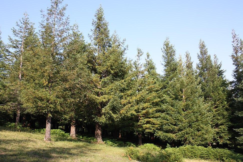 Poio, bosque de sequoias 01-05b
