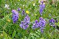Polygala vulgaris Gand Flower, Milkwort წიწინაური (2).JPG
