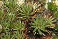Polytrichum piliferum (c, 155635-484523) 0639.JPG
