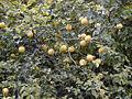 Poncirus trifoliata RJB.jpg