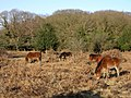 Ponies grazing on Ocknell Plain, New Forest - geograph.org.uk - 128207.jpg