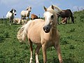 Ponies on the Pembrokeshire coast - geograph.org.uk - 293708.jpg