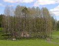 Populus tremula Asp i olika lövsprickning.jpg