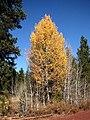 Populus tremuloides 8165.jpg