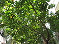 Portia tree.jpg