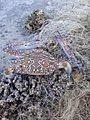 Portunus pelagicus, Qatif.jpg