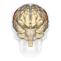 Postcentral gyrus - anterior view.png