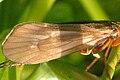 Potamophylax.nigricornis9.-.lindsey.jpg