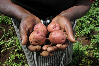 Agriculture in Kenya - Potatoes harvested from a Kenyan farm.