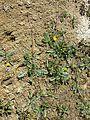 Potentilla anserina (subsp. anserina) sl11.jpg
